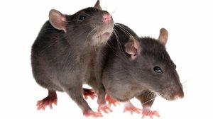609578-rats