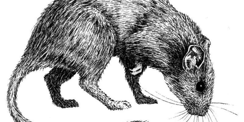 ratto-9784