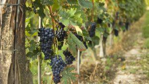 vitigno-barbera-300x169