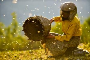 Medena zemja (Honeyland - Il regno delle api), Tamara Kotevska, Ljubomir Stefanov, Macedonia del Nord 2019, 87'_Mietitura